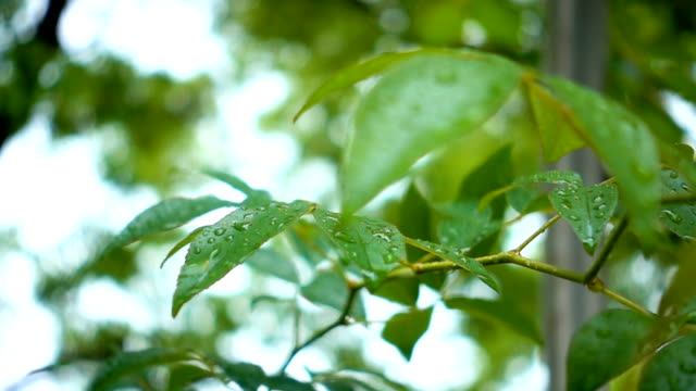 Super slow motion of raindrops in green leaves video