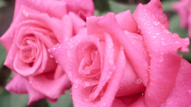 Super slow motion of two beautiful pink roses in rain close up video