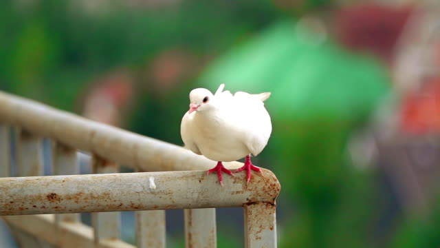 Super slow motion shot of a white pigeon flying off a handrail video