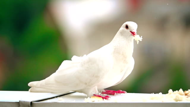 Super slow motion shot of a white pigeon pecking bread crumbs video