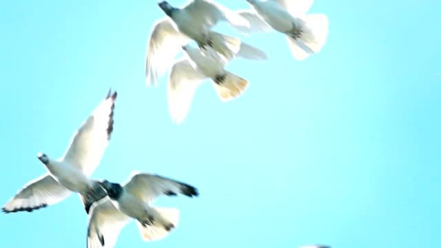 Super slow motion shot of flying flock of white pigeons against blue sky video