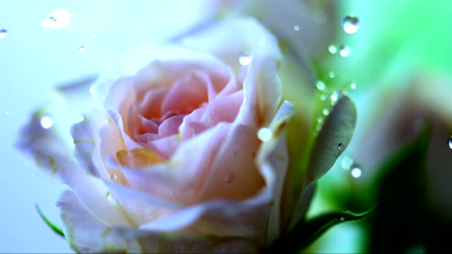 HD Super Slow-Mo: Drops Falling On A Rose video