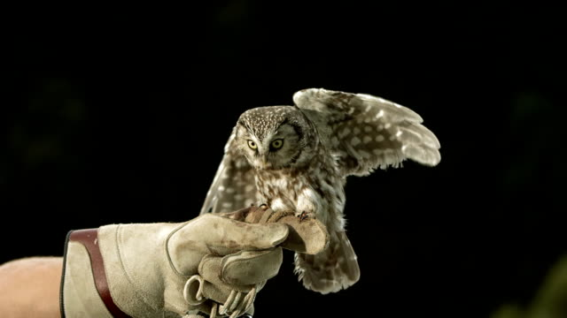 HD Super Slow-Mo: Falconer With Little Owl video