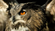HD Super Slow-Mo: Flying Horned Owl video