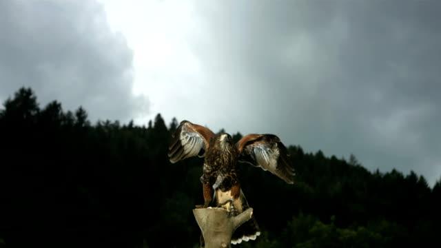 HD Super Slow-Mo: Harris Hawk Flying Off video