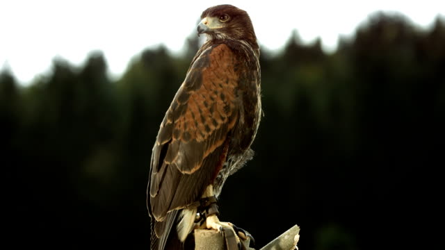 HD Super Slow-Mo: Hawk Sitting On A Branch video