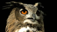 HD Super Slow-Mo: Horned Owl Calling video