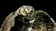 HD Super Slow-Mo: Little Owl Spreading Wings video