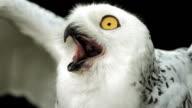 HD Super Slow-Mo: Snowy Owl Calling video