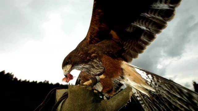 HD Super-Slow Mo: Harris Hawk Eating Its Prey video