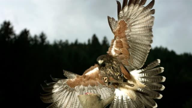 HD Super-Slow Mo: Harris Hawk Landing On A Branch video
