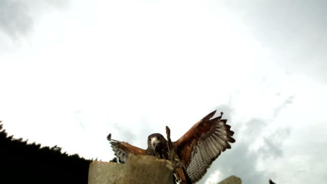 HD Super-Slow Mo: Harris Hawk Takes Its Prey video