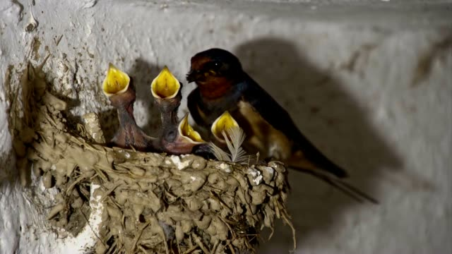 SLO MO Swallow bird feeding chicks video