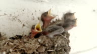 Swallow Chicks Cry For Food video