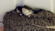 Swallow chicks in the nest. Swallow feeding chicks video