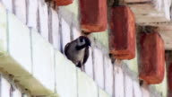 A swallow sitting on a brick building video