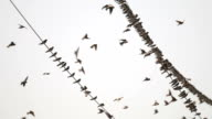 Swallows Fly and Sit on Wires video