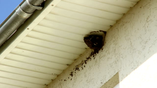 Swallow's nest under a house roof. video