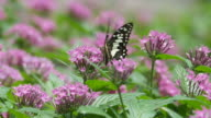 swallowtail butterfly drinking nectar from flower video