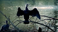 Swamp Bird Stretches Wings video