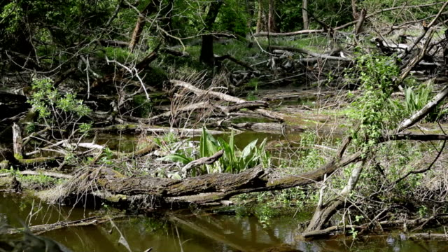Swamp forest; HD Dolly video