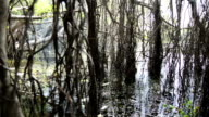swamp forest video