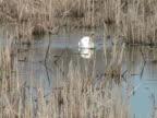 swan and blackbird video