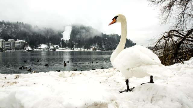 HD: Swan at lake Bled video