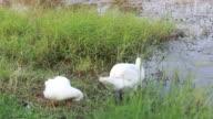 swan at lakeside video