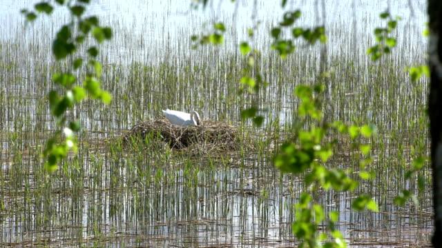 Swan breeds in his nest video