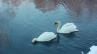 Swan dive. Waterfowl birds diving. White swans swimming in lake video