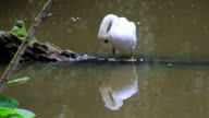 swan feathers cleaning video