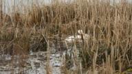 Swan in Marsh Nest Building video