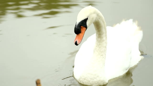 Swan in the lake, slow motion video