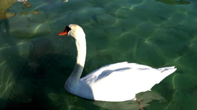 ZURICH, SWITZERLAND : A swan in the Zurich lake, Switzerland. Zurich is a leading global city and largest financial center. video