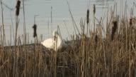 Swan Nest Building video