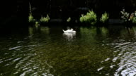 Swan swimming in a lake video