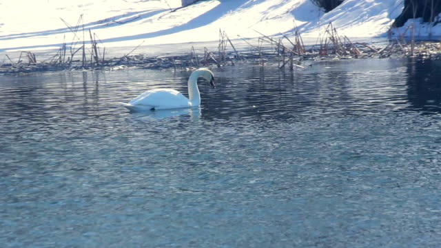 Swan swimming near snow covered riverbank. Water bird in winter river video