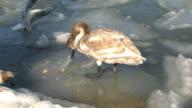 Swan video