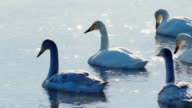 swan-familiy in winter on the lake video