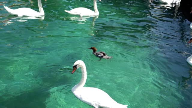GENEVA, SWITZERLAND: Swans and ducks in the lake of Geneva, Switzerland. video
