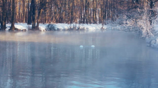 Swans dive in to forest lake in winter season. Mist over lake in winter park video