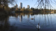 Swans in Lost Lagoon, Vancouver video