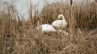 Swans in Marsh Nest Building video
