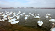 Swans On a River video