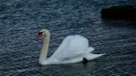 swans on lake geneva video