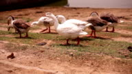 Swans outdoor in the nature video
