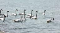 Swans swimming on Lake Balaton video