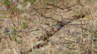Swarm of ants in sandy areas video