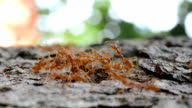 Swarm of ants on dry tree bark fighting for food video